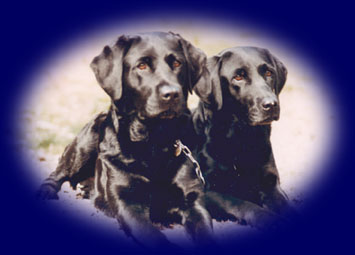 Our first labradors Dadda & Atess
